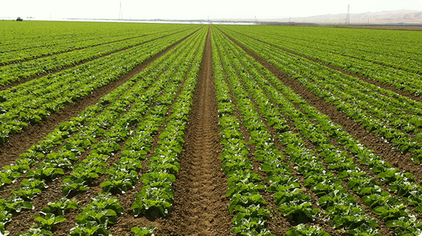 a field with rows of plants