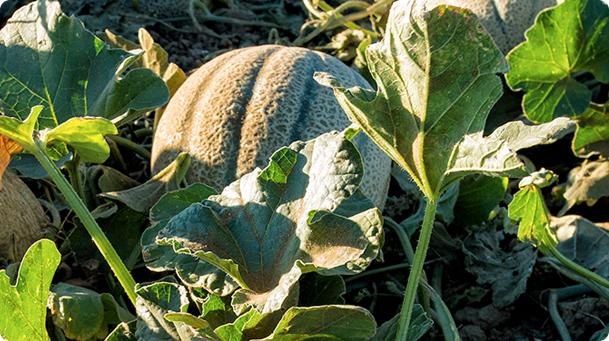 California Cantaloupe