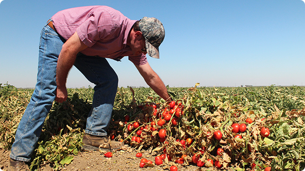 California farming inspecting crops