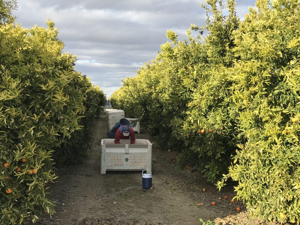 picture of orange harvest